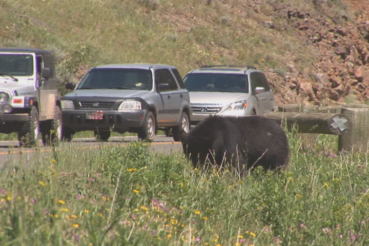 NTSC: Black bear & cars. Shot in Yellowstone National Park.