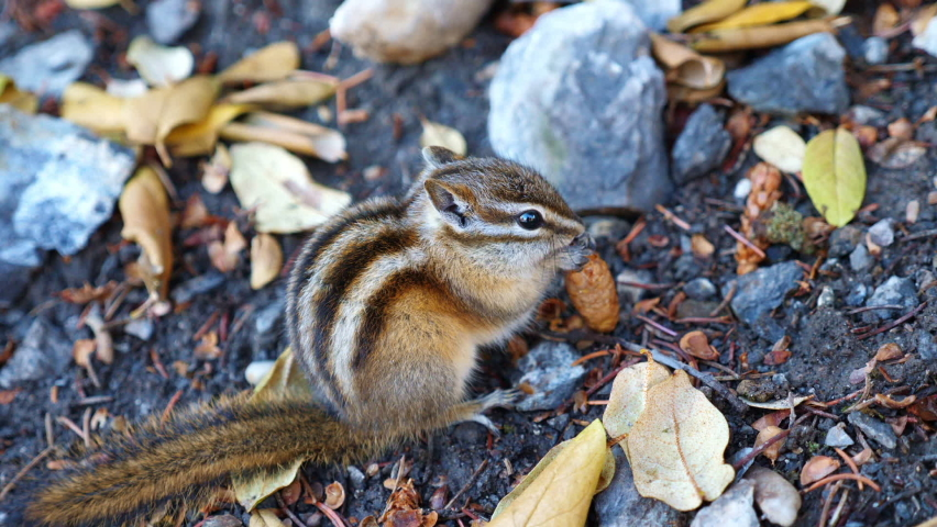 Chipmunk eating pinecone in canada