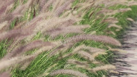 Grass flowers along the road grow naturally. Grasses blowing gently in the wind