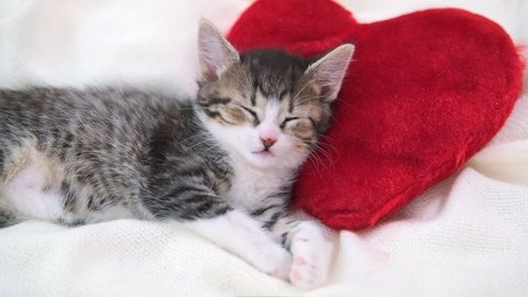 Valentines Day cat. Small striped kitten sleeping on heart shape red pillow on light white blanket on bed. domestic pets concept