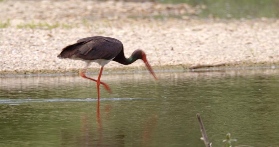 The black stork is hunting the fish on the Drava River, Croatia