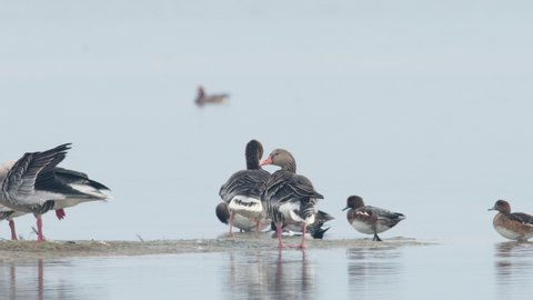 Grey goose (Anser anser) and Eurasian wigeon (Mareca penelope) on a misty day in autumn, lagoon near Grado (Italy)