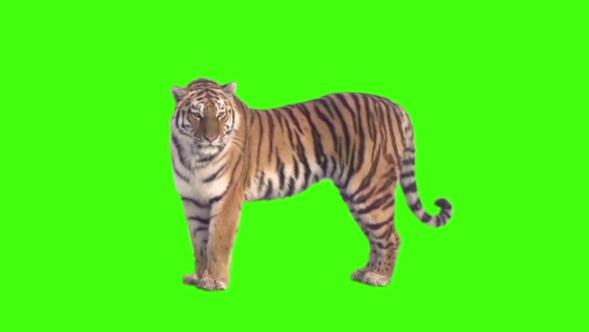 Tiger Looking Around on Green Screen