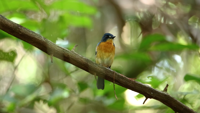 Nature wildlife footage of The mangrove blue flycatcher (Cyornis rufigastra) is a species of bird in the family Muscicapidae in 4K resolution