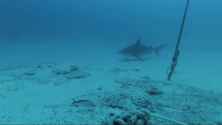 Close up deep diving with bull sharks video at the bottom of the sea with divers