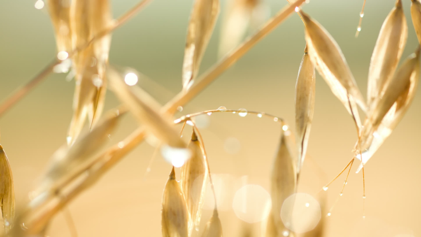 Close-up slider shot of light yellow ripe spikelets of oats Royalty-Free Stock Footage #1065370282