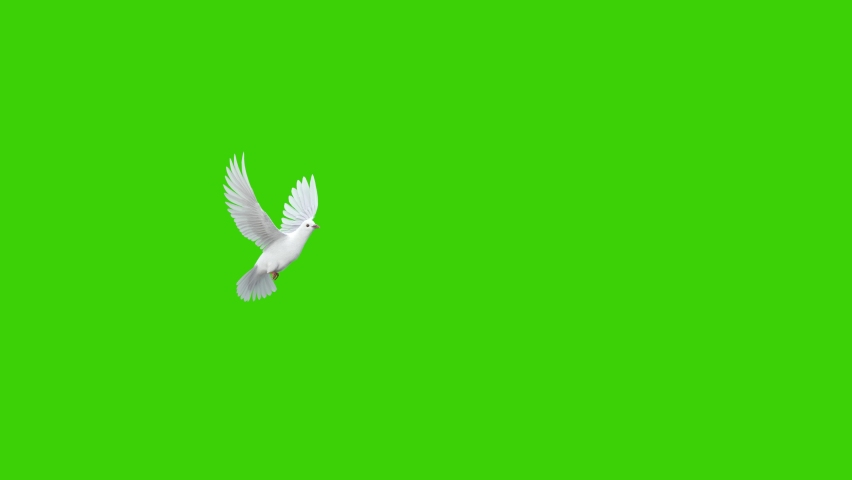 Animation of a white pigeon taking off in slow motion in a green screen background, used in sky background composition
