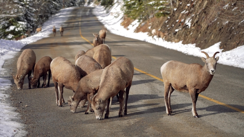 A group of young Bighorn Sheeps (ewe and lamb) foraging on the snowy mountain road. Banff National Park in October, Mount Norquay Scenic Drive. Canadian Rockies, Canada.  Royalty-Free Stock Footage #1065559369