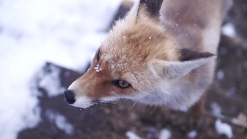 Close up of a young wild red fox face with some snowflakes on its fur. Clip. Beautiful animal licking its nose and looking around outdoors in winter.   Shutterstock HD Video #1065570487