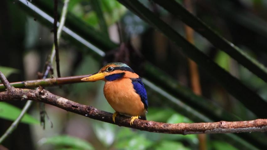 Rufous-collared Kingfisher (Actenoides concretus) sitting on branch. Perak, Malaysia.   Shutterstock HD Video #1065570496