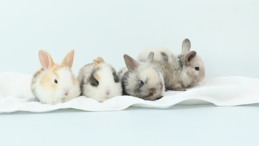 A group of baby bunny easter rabbit sleeping, sniffing, looking around, on white background. Lovely bunny easter rabbit.   Shutterstock HD Video #1065571000