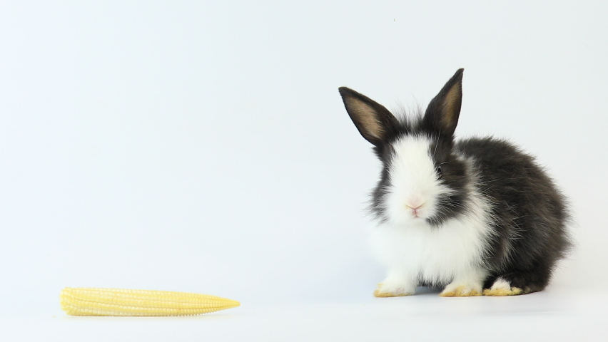Lovely bunny easter fluffy rabbit, Baby rabbit with baby corn on white background. The Easter white black hares running around, sniffing, looking around, on white background.   Shutterstock HD Video #1065571177