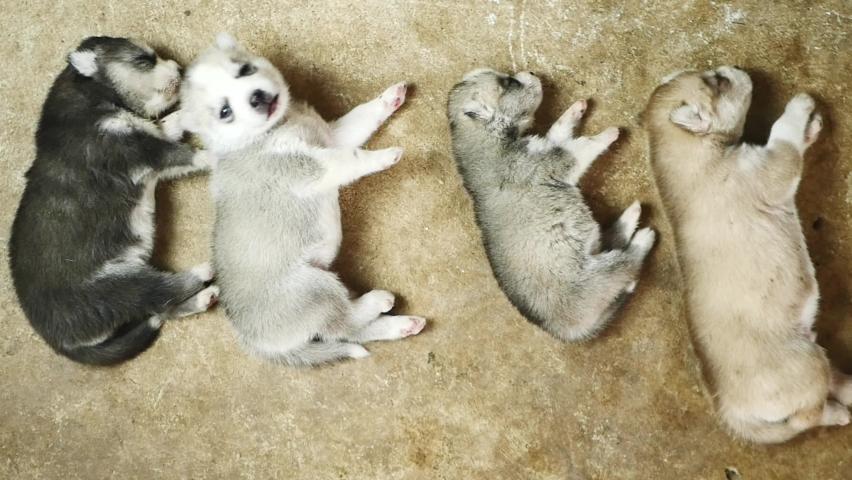 Close-up of 4 Siberian Husky puppies lie about.   Shutterstock HD Video #1065571441