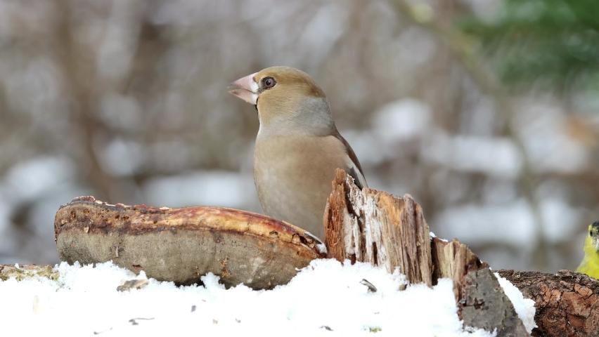 Female hawfinch - birds at winter feeding   Shutterstock HD Video #1065571474