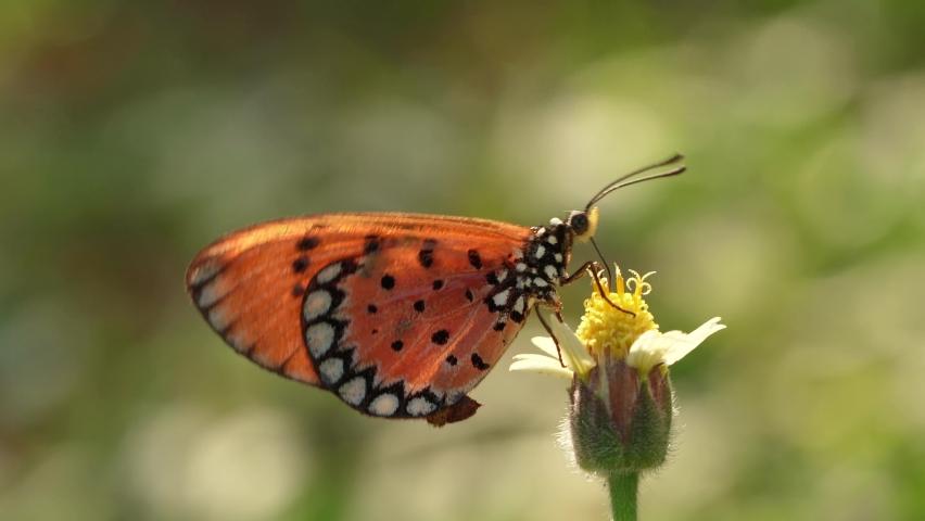 Close up, A beautiful orange butterfly feeding on a little white flower in a garden.   Shutterstock HD Video #1065571558