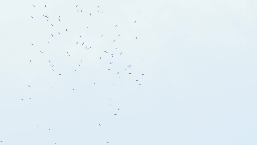Bird Fly swing in sky. Flying for food sources and breeding of birds   Shutterstock HD Video #1065573271