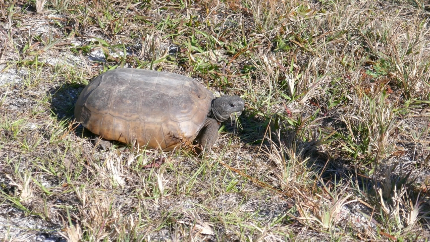 A turtle is eating grass   Shutterstock HD Video #1065573388