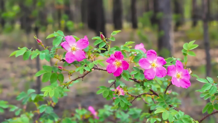 Prickly wild rose shrub, commonly known as dog rose, and his blossoming flower in coniferous forest   Shutterstock HD Video #1065573403