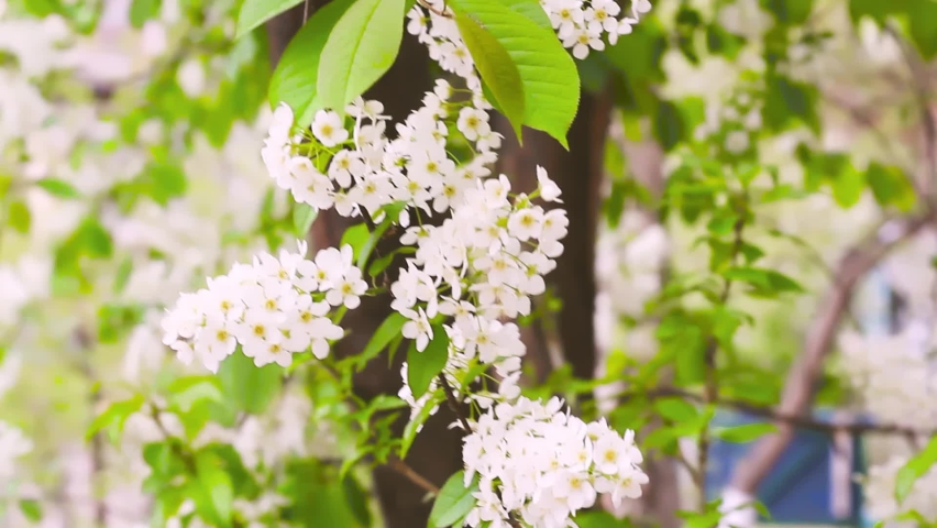 Tender white petals of bird cherry tree flowers at blooming season, Prunus padus blossom, floral branch on wind at springtime   Shutterstock HD Video #1065573412