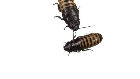 Two Madagascar hissing cockroaches on white background. One extra big, crawling around.