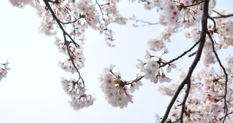 Cherry blossoms swaying in the wind taken by a fixed camera. | Shutterstock HD Video #1065580612