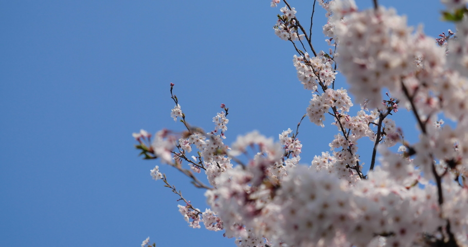 Cherry blossoms swaying in the wind taken by a fixed camera. | Shutterstock HD Video #1065580615