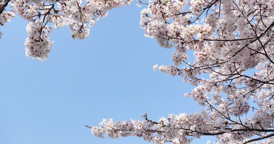 Cherry blossoms swaying in the wind taken by a fixed camera. | Shutterstock HD Video #1065580618