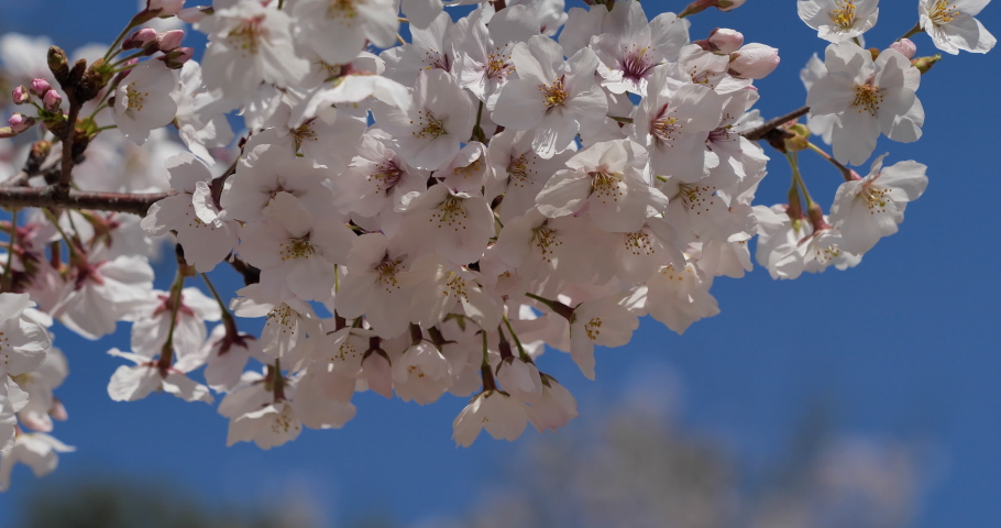 Cherry blossoms swaying in the wind taken by a fixed camera. | Shutterstock HD Video #1065580621