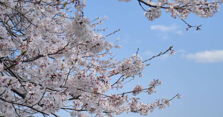 Cherry blossoms swaying in the wind taken by a fixed camera. | Shutterstock HD Video #1065580624