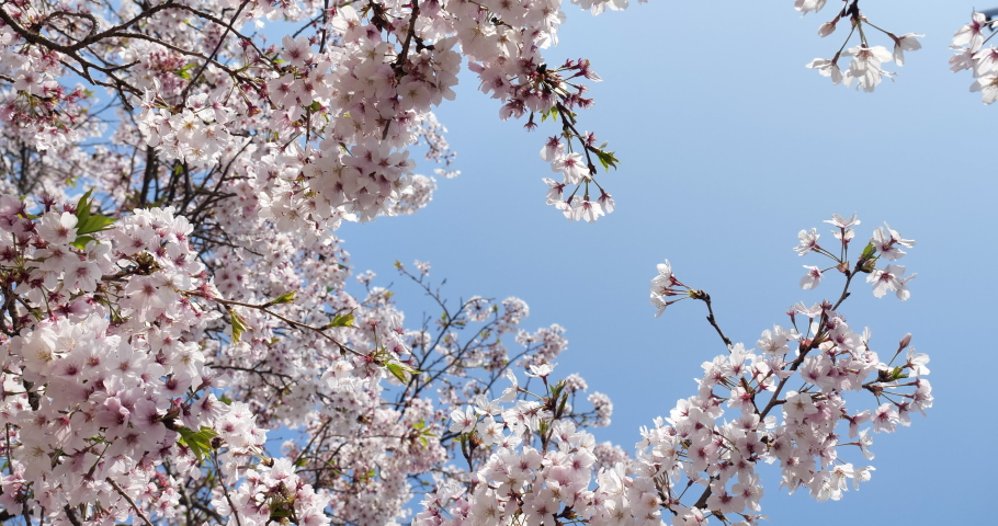 Cherry blossoms swaying in the wind taken by a fixed camera. | Shutterstock HD Video #1065580627