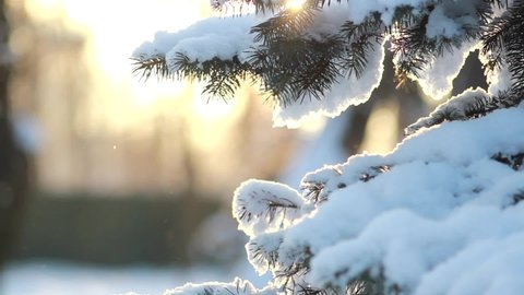Winter forest - fluffy snow on the branches of coniferous trees. Sunset in the winter forest during a snowfall.