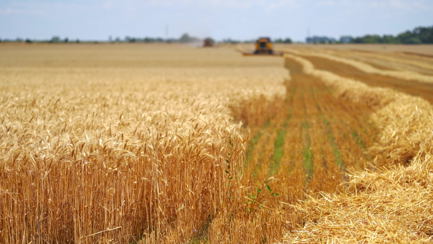 Yellow field with grain in front view. Grain harvesting combine in a sunny day at the blurred background. Agricultural technic is working in a field. | Shutterstock HD Video #1065598042