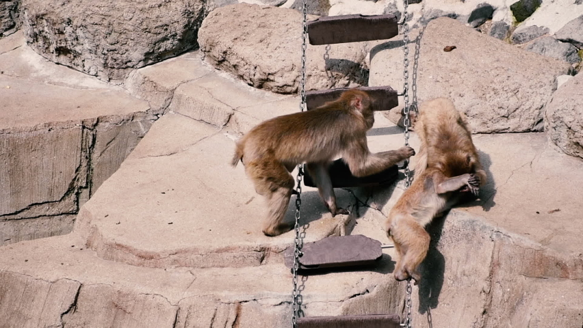 3 Japanese macaques are playing. Monkey climbing a ladder | Shutterstock HD Video #1065601477