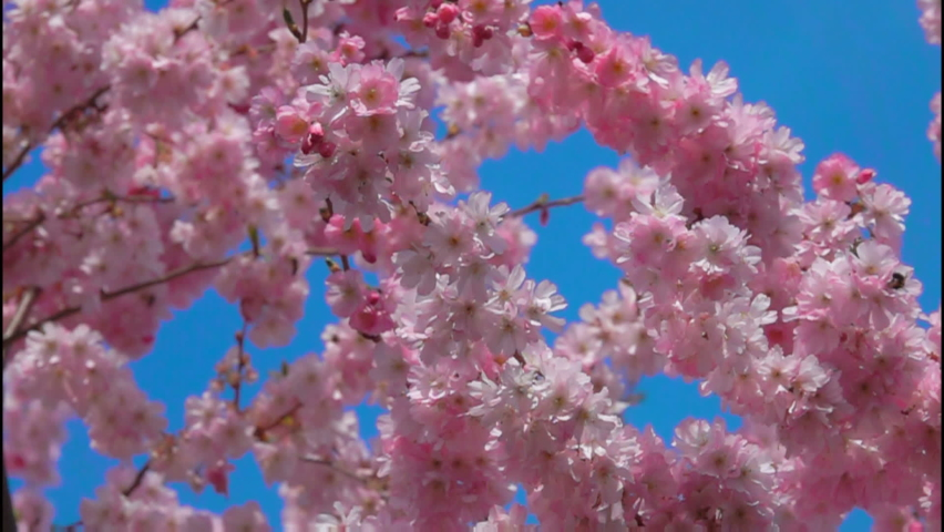 Close-up of cherry tree flowers on a sunny spring day with a blue sky on the background | Shutterstock HD Video #1065601855