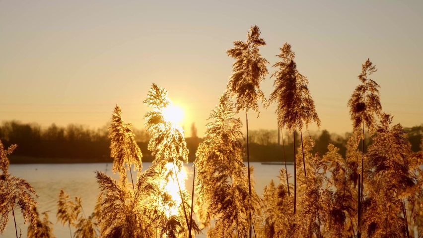 Closeup of reeds by Lac de Créteil at beautiful sunset in France   Shutterstock HD Video #1065604885
