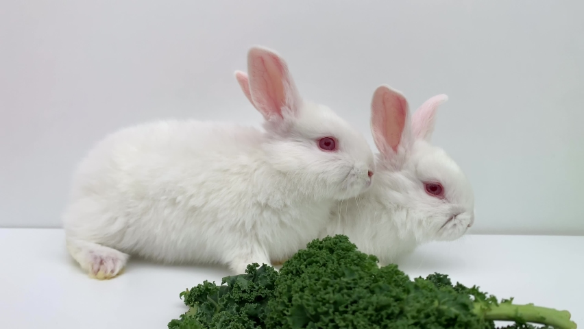White rabbits eat green grass on a white background. Two hares are jumping together. High quality 4k footage | Shutterstock HD Video #1065614542