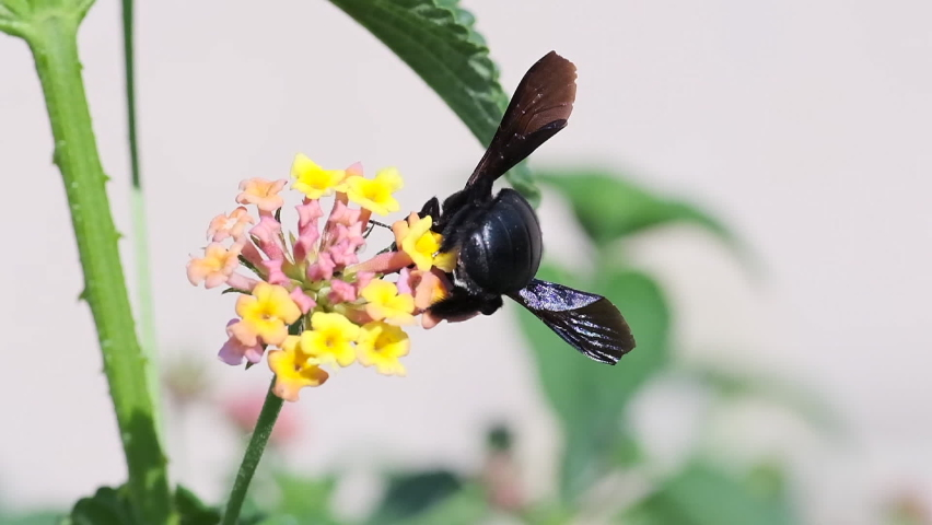 A bumblebee collects Nectar from a Flower, slow-motion footage | Shutterstock HD Video #1065623773
