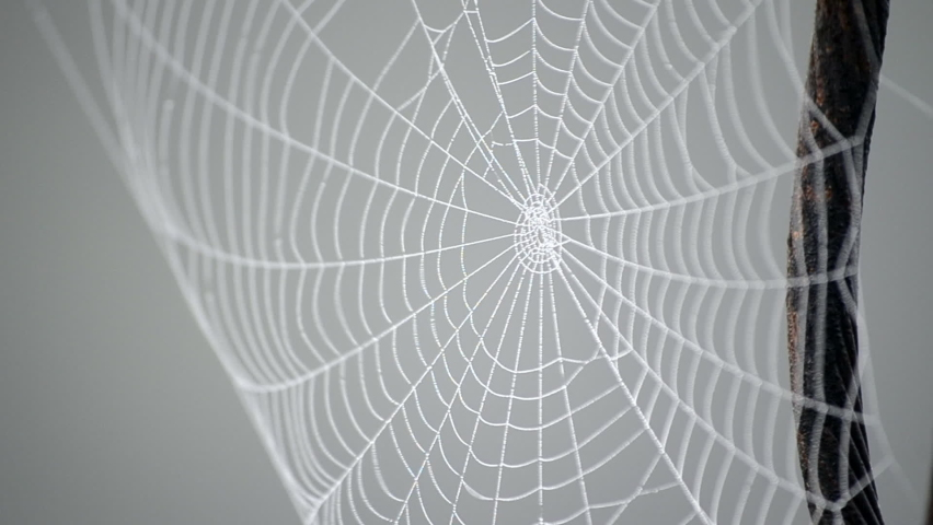 Spiderweb covered morning dew on summer morning close up. Spider web swaying in wind on gray background. Dew drops on web close up. Cobweb hanging on metal old rusty wire. Nature, natural background | Shutterstock HD Video #1065676264
