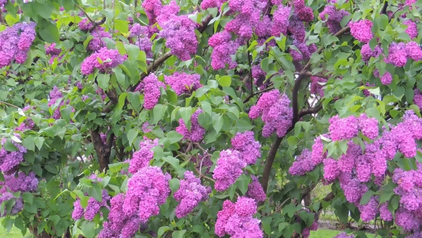 A large bush of blooming lilac sways in the wind | Shutterstock HD Video #1065684697