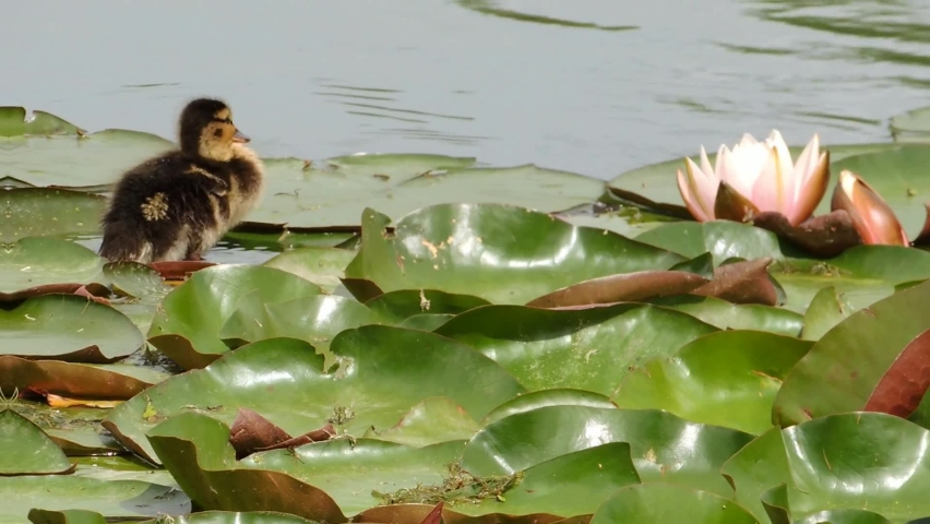 A small duckling stands on the leaves of a water lily and cleans its feathers. | Shutterstock HD Video #1065684919