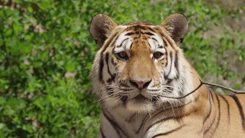 Siberian Tiger in slow motion, (Panthera tigris altaica)