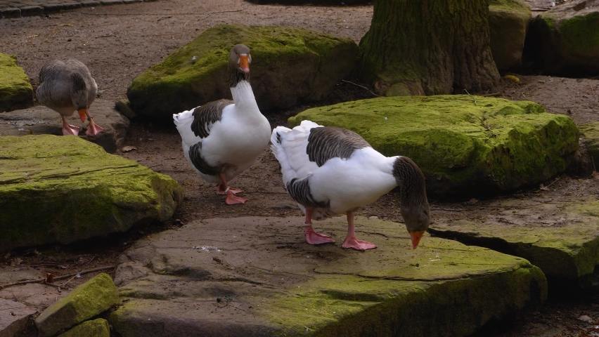 Close up of geese standing beside a lake.   Shutterstock HD Video #1065697189