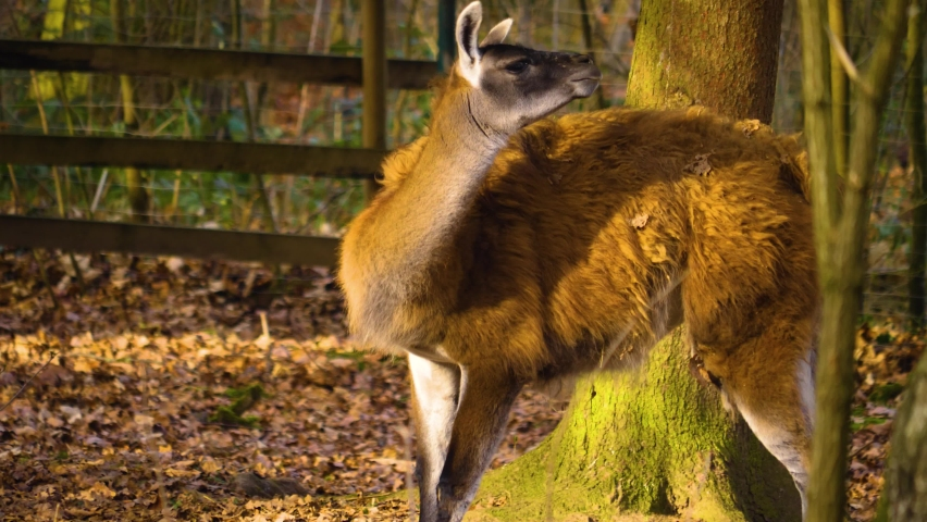 Guanaco standing in the woods on a sunny day in autumn.   Shutterstock HD Video #1065697195
