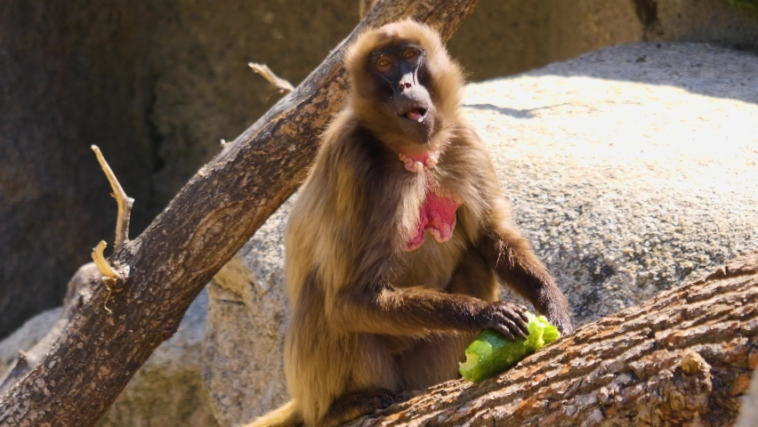 Baboon eating a cucumber on a sunny day   Shutterstock HD Video #1065697198