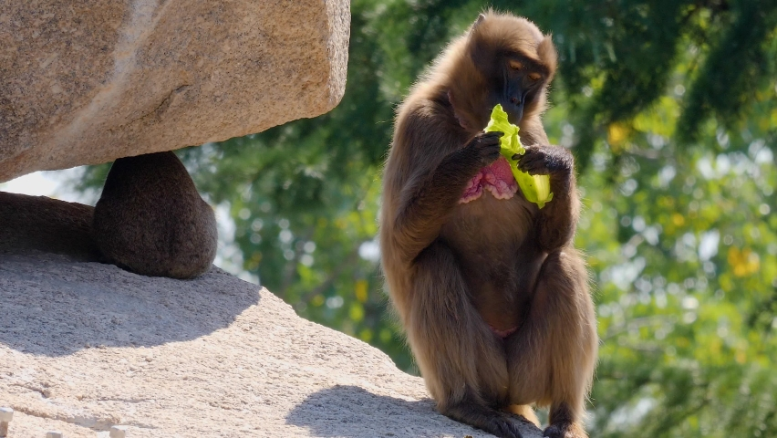 Baboon eating a cucumber on a sunny day   Shutterstock HD Video #1065697204