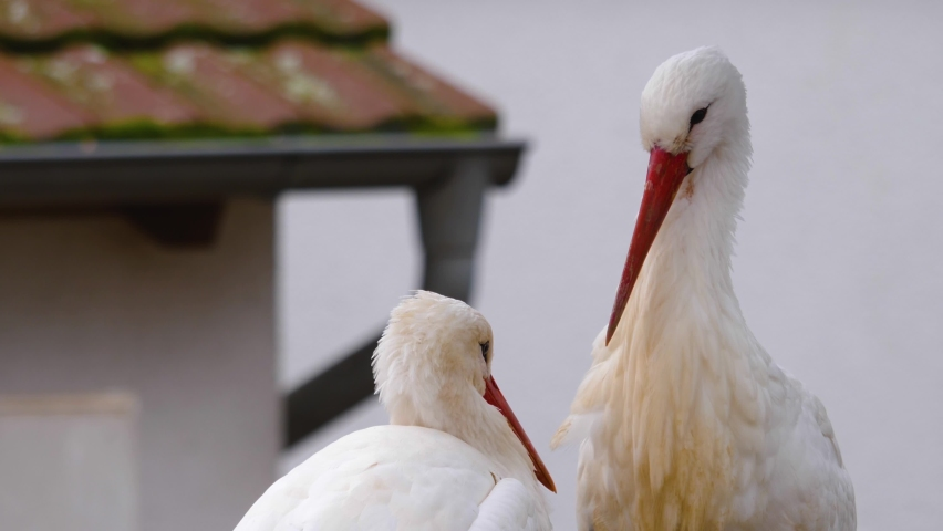 Two white storks standing in their nest grooming each other.   Shutterstock HD Video #1065697210