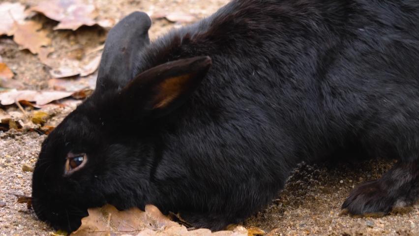 Black dwarf bunny rabbit searing the ground   Shutterstock HD Video #1065697216
