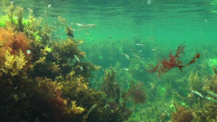 Underwater footage. Flock of the fish species Mediterranean Sand Smelt (Atherina hepsetus) in their natural habitat. Black Sea coast.     Shutterstock HD Video #1065698695