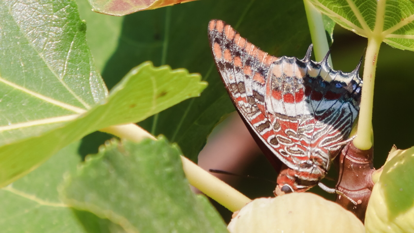 Macro footage. Butterfly species Two-tailed Pasha (Charaxes jasius).   Shutterstock HD Video #1065699274