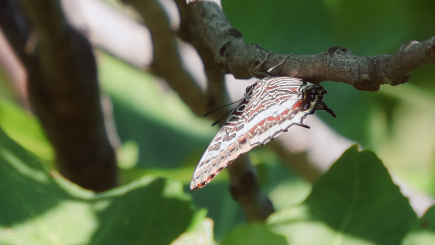 Macro footage. Butterfly species Two-tailed Pasha (Charaxes jasius).   Shutterstock HD Video #1065699277